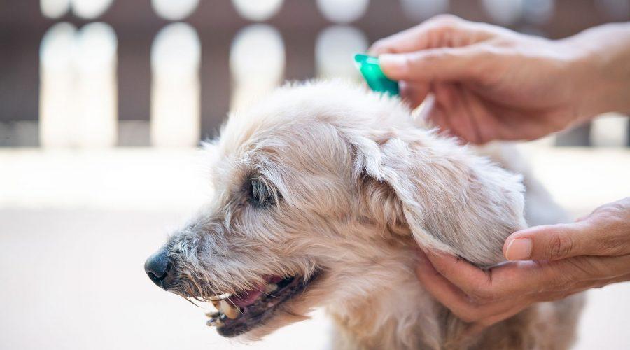 que hacer si tu perro tiene pulgas